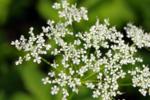 Barszcz Sosnowskiego: jedna z najbardziej niebezpiecznych roślin, która rośnie na łące