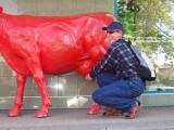 krowa w Siedlcach